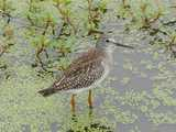A yellowlegs sandpiper standing in water with vegetation.