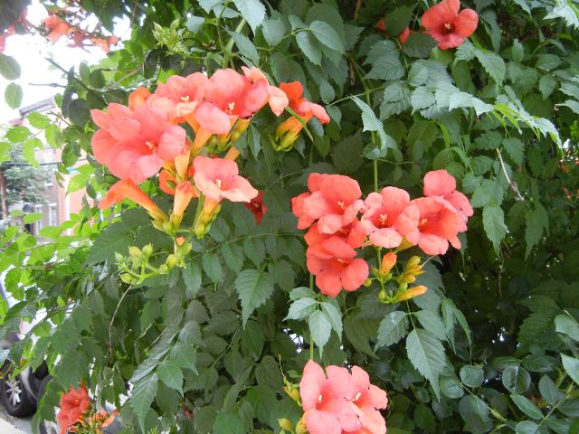 Photo of Trumpet Vine Leaves and Flowers, long compound leaves with opposite leaflefs, and red-orange trumpet-shaped flowers in clusters