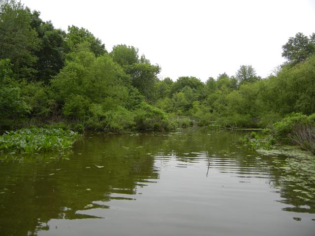 Wetlands, showing water in foreground and various water plants around the edge, with shrubs and forest behind that