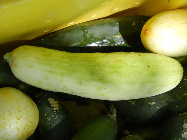 A white cucumber, with a little greenish and yellowish, with green cucumbers under it, in a yellow bin