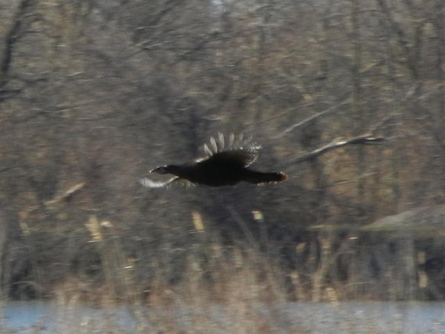 A wild turkey flying over wetlands, with reeds in foreground, water, and a blur of bare vegetation in the background