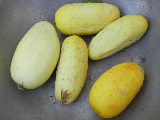 Small yellow cucumbers, one dark yellow, the others pale yellow, most slightly wider than pickling cucumbers but similar in size and shape